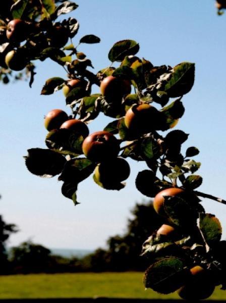 Le m�rissement des pommes