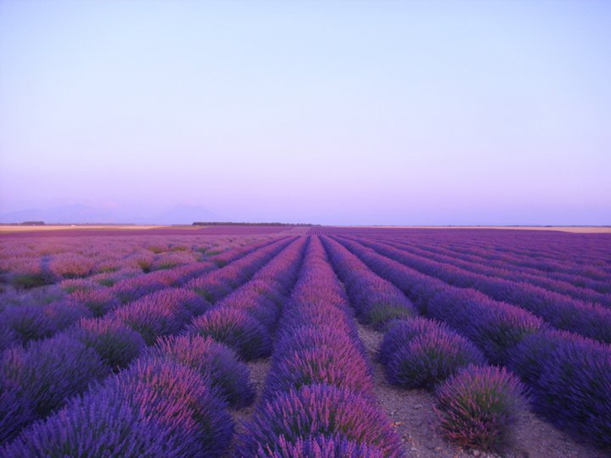 Valensole plateau, the Lavenders