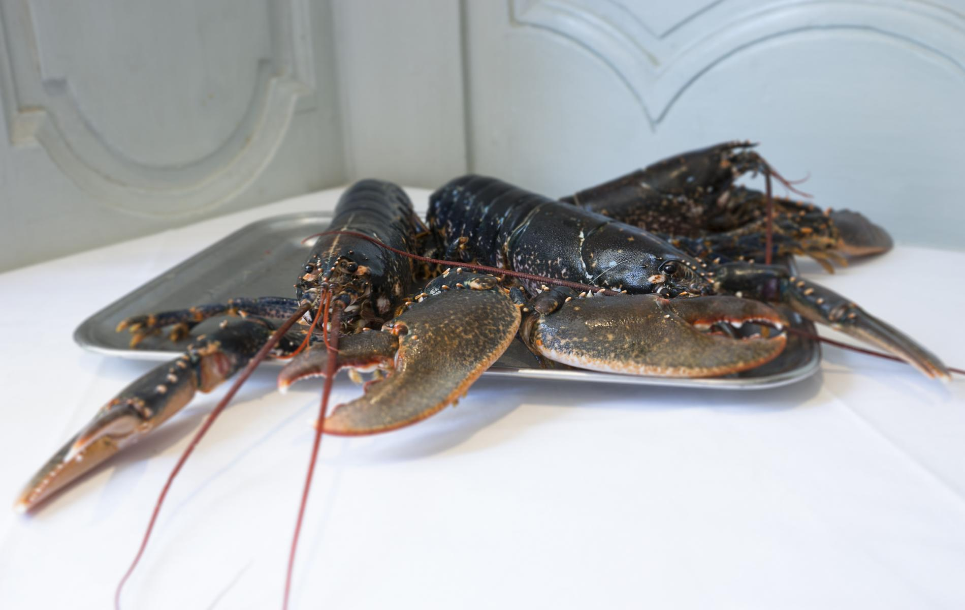 le homard bleu du vivier
