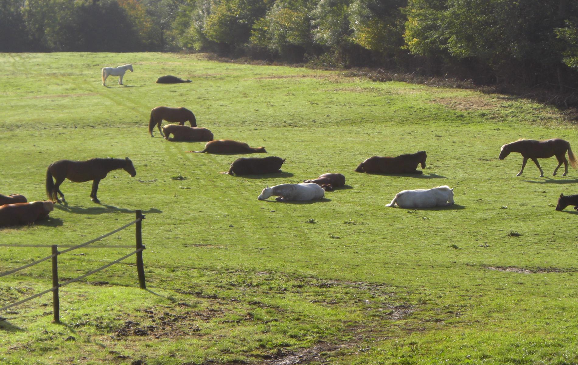 chevaux prés sieste