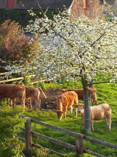 Les bovins sous les pommiers