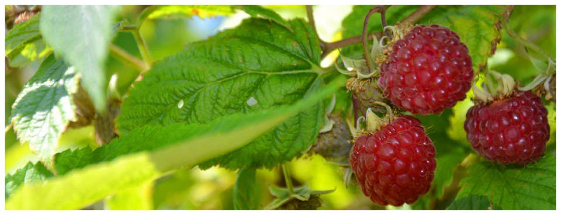 Raspberry domain