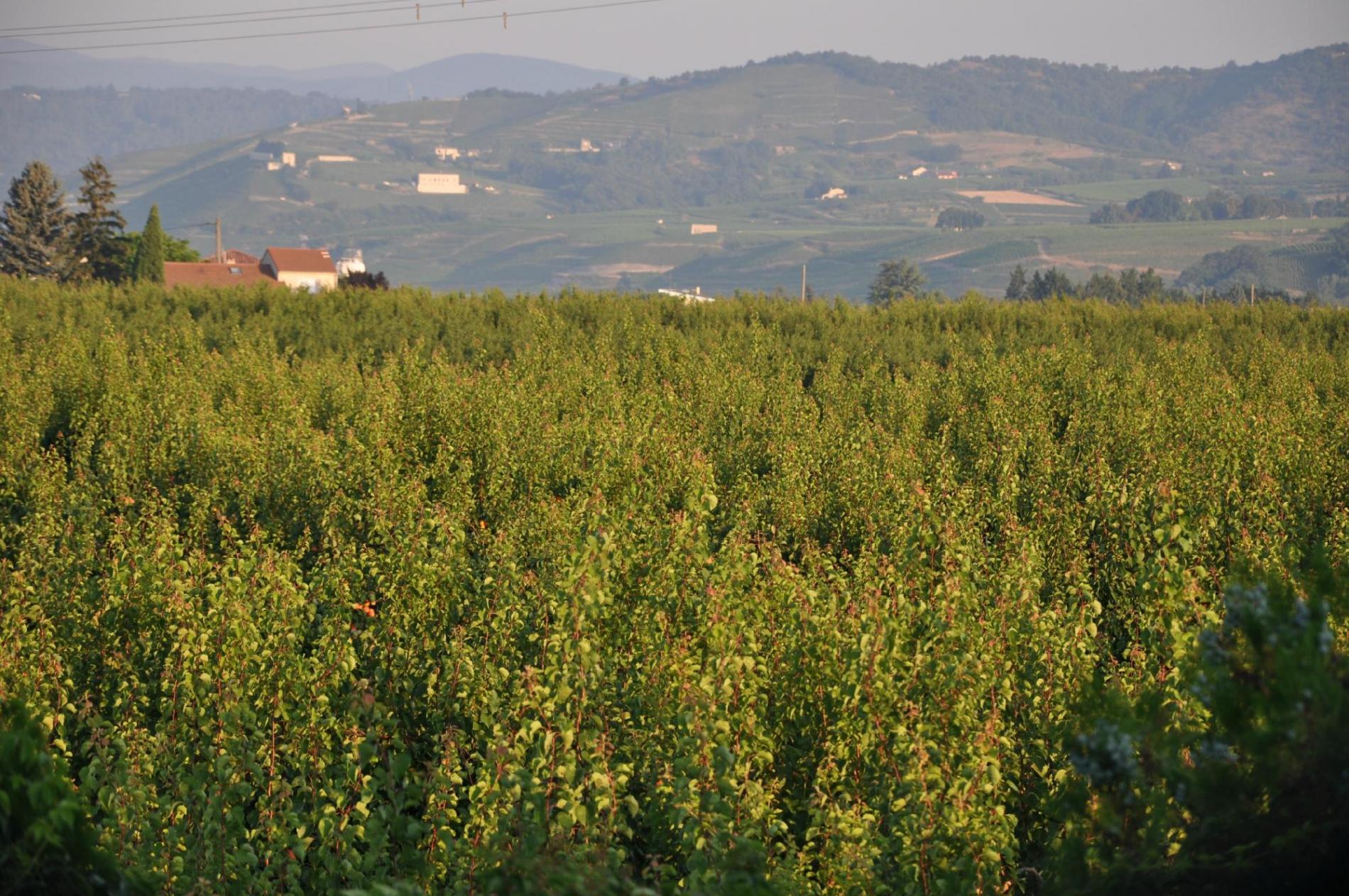 Au coeur des vignes et des abricotiers